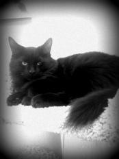 Turbo - 4 Month Old Black Domestic Long Hair Kitten
