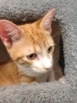 Tiger - 6 month old orange/white Tabby mix